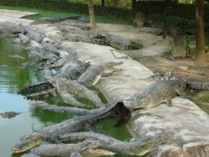 крокодилы на лангкави