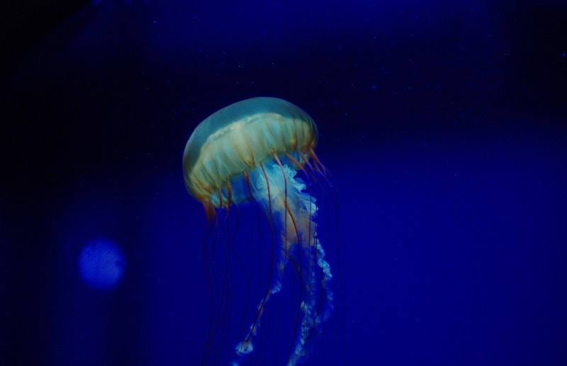 лангкави медузы