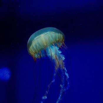 медузы лангкави